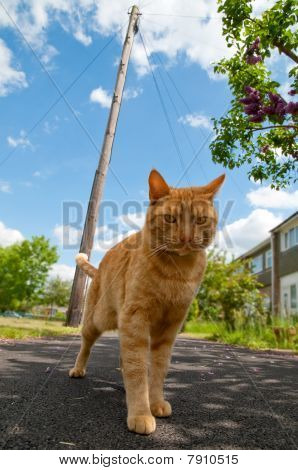 handsome red tabby cat defending his urban territory poster