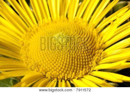 Sunflower Detail