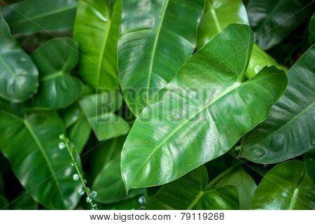 Syngonium podophyllum leaves closeup