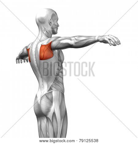 Concept or conceptual 3D Teres Major or back human anatomy or anatomical and muscle isolated on white background