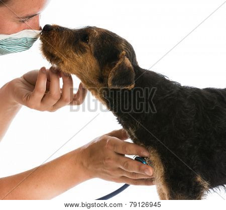 veterinary care - stethoscope on the heart of a airedale terrier puppy