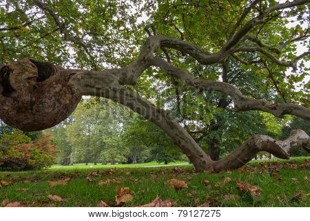 Burl On A Tree