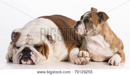 dog father and daughter - english bulldog father 5 years old and daughter 4 months old on white background