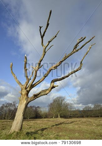 Dead Windswept Tree
