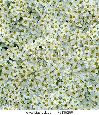 seamless white tiny flower background