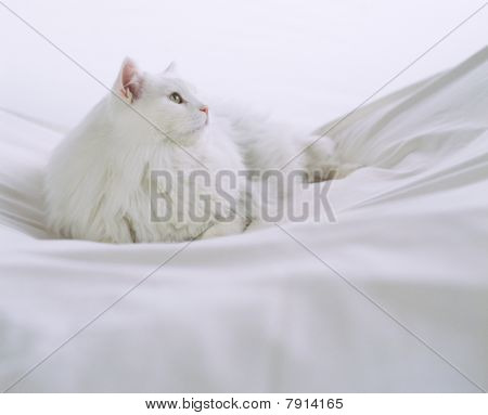 White Longhaired Cat
