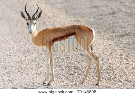 Male Springbok In Etosha National Park, Namibia