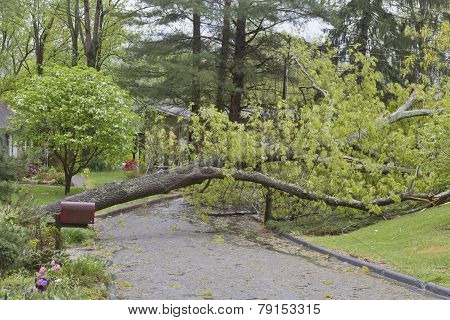 A neighborhood road is blocked by a large oak tree that has fallen and crumbled across the road after a spring storm poster