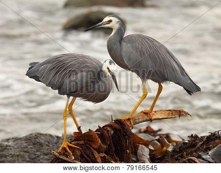 White-faced Heron Pair