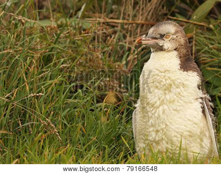 Juvenile Yellow-eyed Penguin