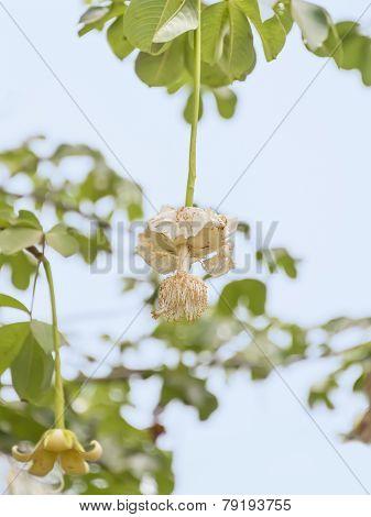 White Baobab flower (Adansonia digitata), rainy season