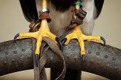 Peregrine Falcon with talons close up detail poster