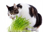 A pet cat enjoys eating some fresh grass. On a white background. poster