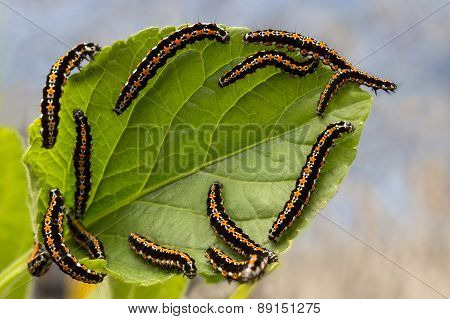 caterpillars devour the leaves