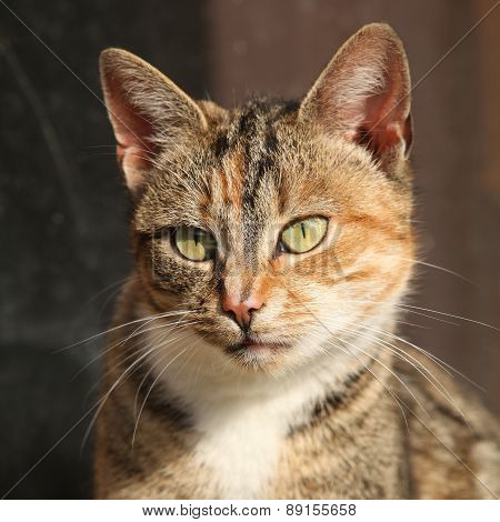 Amazing Tricolour Cat Looking At You