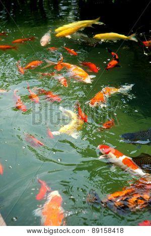 Beautiful ornamental koi fish swimming in pond.