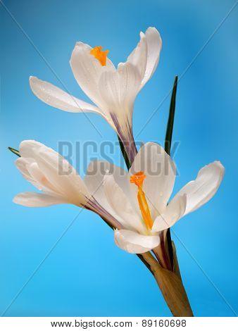 crocuses. White Flowers on  blue background.