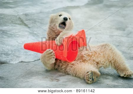 Polar Bear Baby Plays With Plastic Cone In Zoo