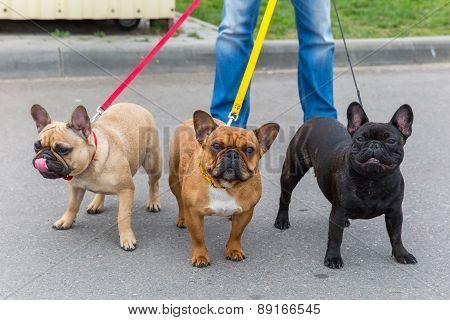 three domestic dogs French Bulldog breed