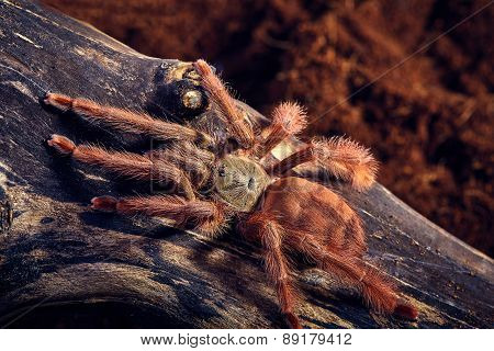 Tarantula Tapinauchenius gigas close-up on a background of brown soil poster