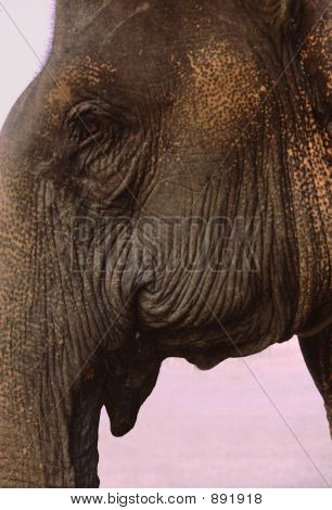 Asian (Indian) Elephant Head