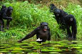 The chimpanzee collects flowers. The chimpanzee costs in water and tries to keep step with a lily flower poster