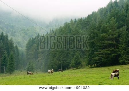 Cows Pasturing On A Misty Meadow