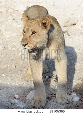 A lone adolescent cub standing in Hwange National Park