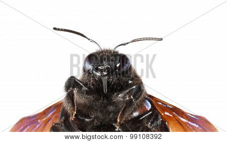 Indian Bhanvra Portrait (violet Carpenter Bee)