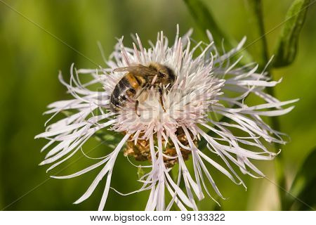 Honey Bee On White Knapweed Flower, Macro, Selective Focus