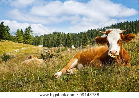 Freely Grazing Domestic And Healthy Cows