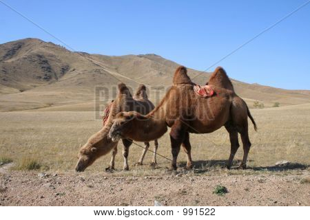 Two Camels In Mongolia