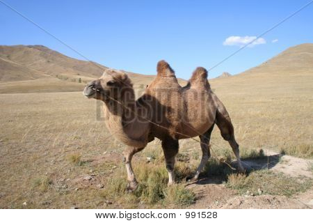 Camel In Mongoliam Steps