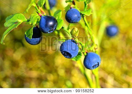 Vaccinium Myrtillus, Bilberry