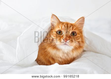 Ginger Cat Lies On Bed. The Fluffy Pet Comfortably Hid Under A Blanket To Sleep Or To Play.