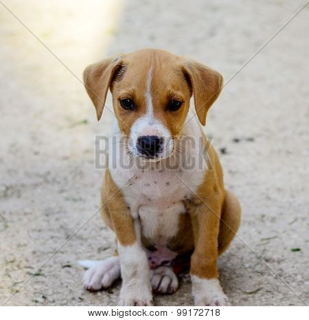 Picture of a Cute puppy of Amstaff dog