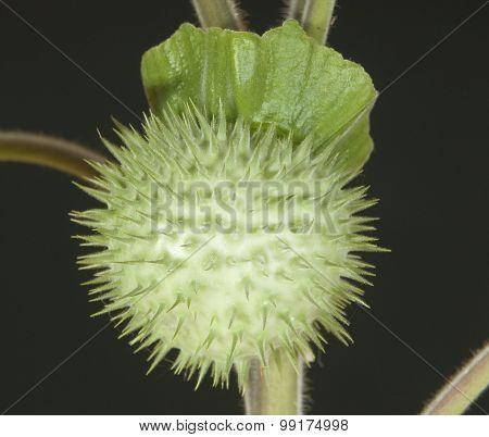 Herbarium Datura Inoxia