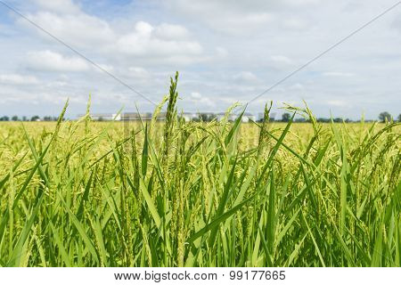 Closeup To A Rice Field