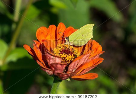 Common Brimstone Sitting On A Zinnia Elegans