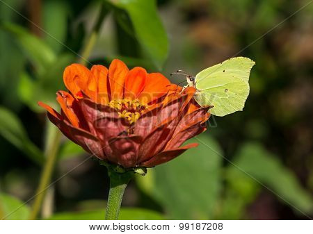 Common Brimstone Sitting On A Zinnia
