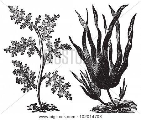 Pepper dulse, red algae or Laurencia pinnatifida (left). Oarweed or Laminaria digitata (right). Vintage engraving. Illustration of two types of algae, red and brown algae. poster
