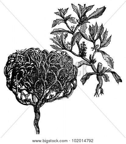 Anastatica hierochuntica, tumbleweed, dinosaur plant, Jericho rose, Mary's flower, Mary's hand, Palestinian tumbleweed, wheel, true rose of Jericho  or resurrection plant old vintage engraving.