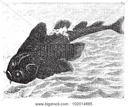 Squatina angelus or Angel shark old engraving.  Angelshark engraved illustration