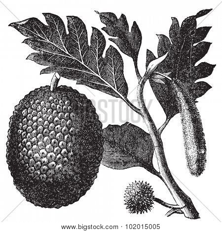 Breadfruit, Artocarpe or Artocarpus altilis old engraving. Old engraved illustration of of leaves, flowers and fruits of the breadfruit