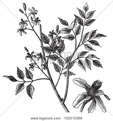 Mahogany or Melia azedarach, vintage engraving. Old engraved illustration of a Mahogany tree showing flowers.