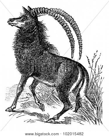 Sable antelope, aigocerus niger or hippotragus niger vintage engraving. Old engraved illustration of a black sable antelope in his environment.