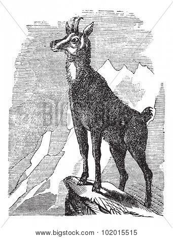 Chamois, Rupicapra rupicapra, or Antilope rupicapra vintage engraving. Old engraved illustration of a Chamois.