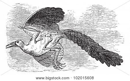 Archaeopteryx, Original bird or First bird, Urvogel, Archaios, Pteryx. Vintage engraving. Old engraved illustration of a Archaeopteryx considered as the earliest and most primitive bird.