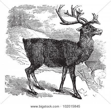 Caribou or Reindeer or Rangifer tarandus vintage engraving. Old engraved illustration of Caribou.
