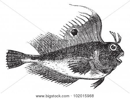 Blennius ocellaris also known as butterfly blenny, fish, vintage engraved illustration of Blennius ocellaris.